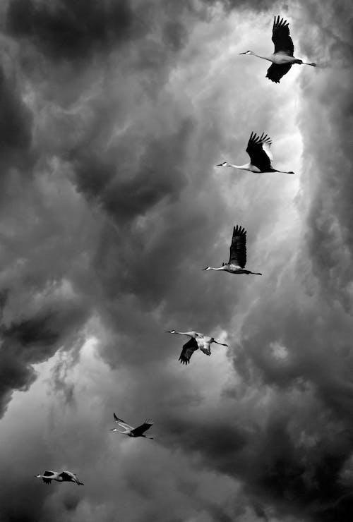 Základová fotografie zdarma na téma fotografování zvířat, hejno ptáků, jeřábi, let
