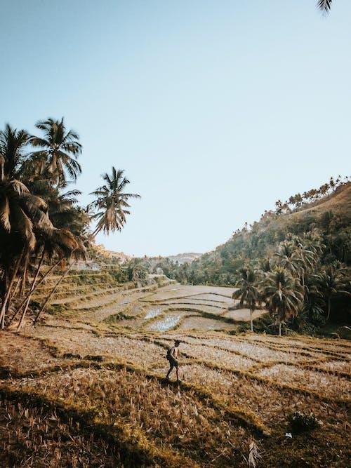 Darmowe zdjęcie z galerii z drzewo, drzewo palmowe, gospodarstwo, krajobraz