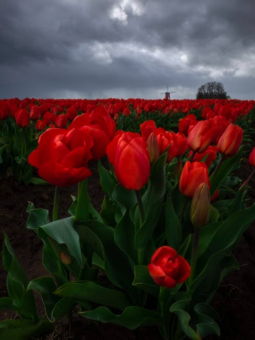 Red Tulip Flower Field