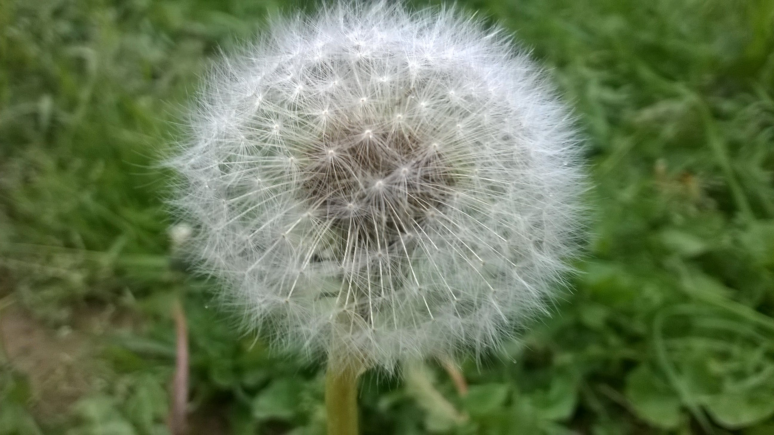 Dandelion in Shallow Photo