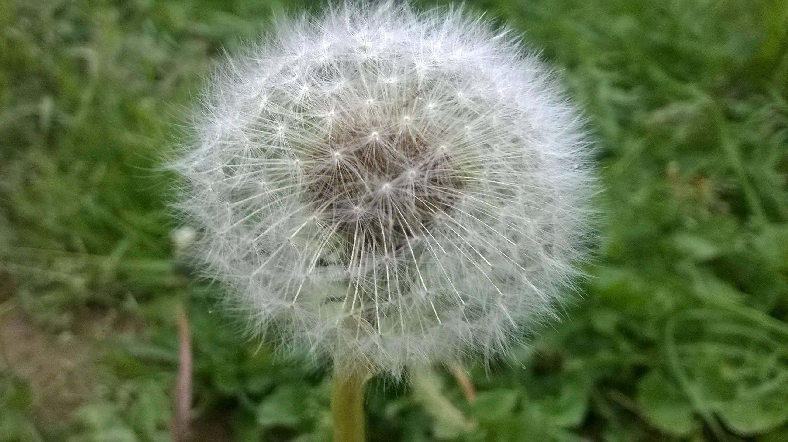 Dandelion in Shallow Photo
