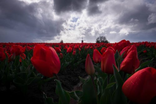 Field Of Red Tulips Flowers Under Cloudy Sky