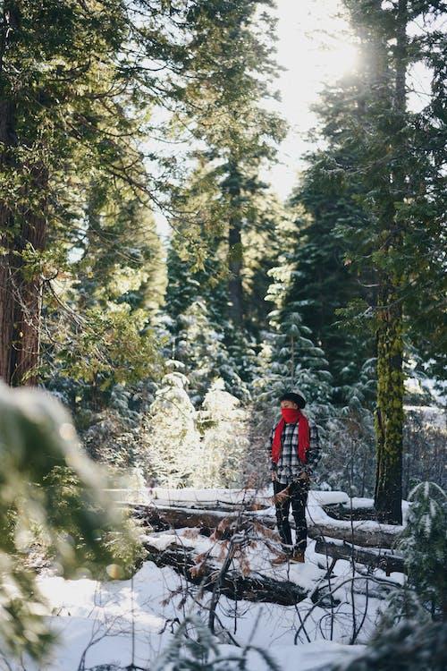 Imagine de stoc gratuită din agrement, anotimp, arbori, arbori veșnic verzi