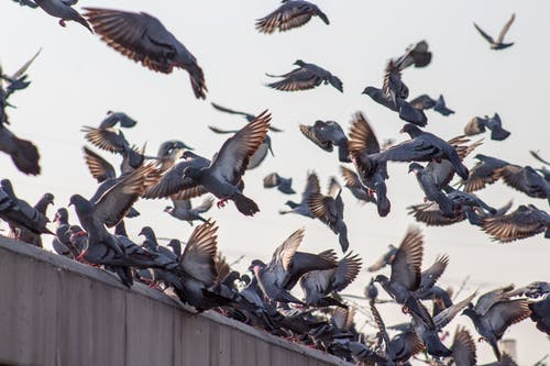 Základová fotografie zdarma na téma fotografování zvířat, hejno, hejno ptáků, holubi