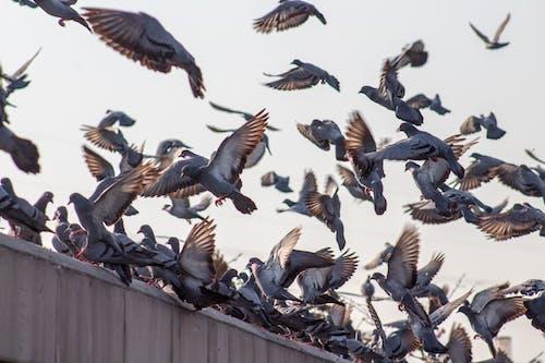 Безкоштовне стокове фото на тему «Голуби, зграя птахів, птахи, пташина зграя»