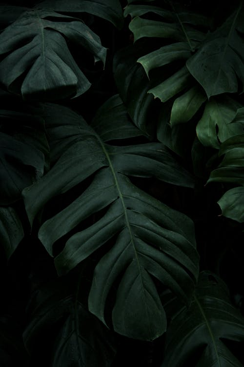 Photo of Swiss Cheese Plant Leaves