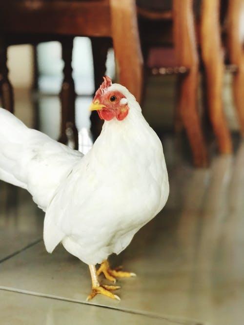 Gratis stockfoto met aviaire, beest, binnen, boerderijdier