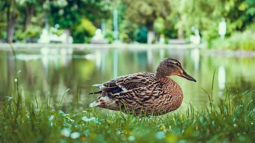 Fotos de stock gratuitas de animal, aves acuáticas, aviar, césped