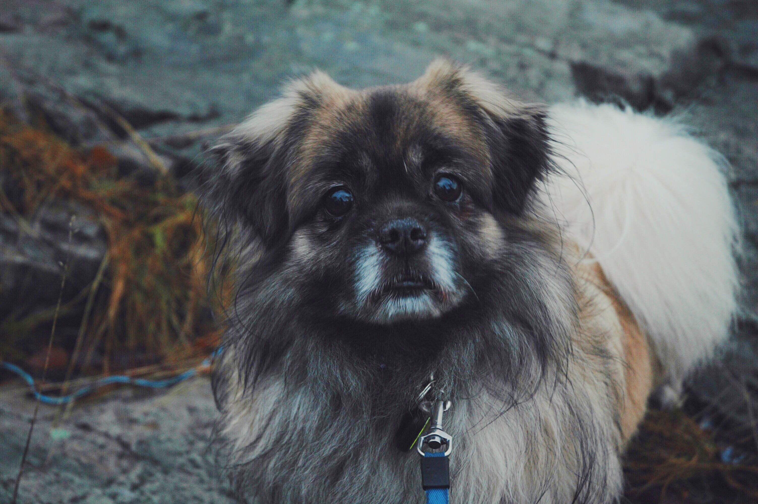 Adult Brown and White Pekingese Standing on Gray Rock