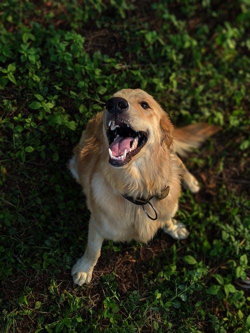Long-coated Tan Golden Retriever Dog