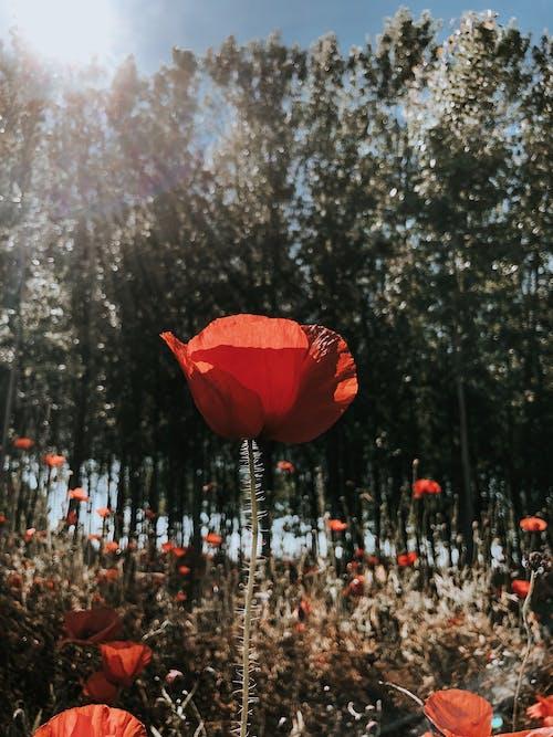 Základová fotografie zdarma na téma červená, denní světlo, flóra, hloubka ostrosti