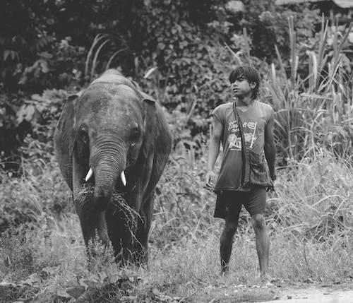Grayscale Photo of Teenage Boy Walking Beside Grazing Baby Elephant