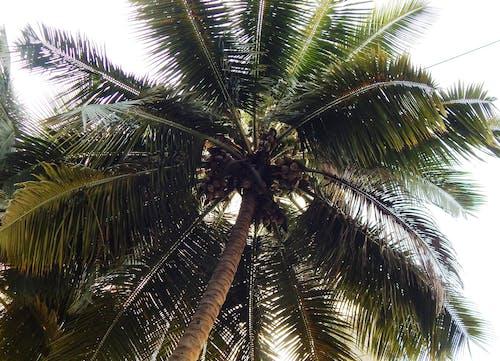 Бесплатное стоковое фото с кокосовая пальма
