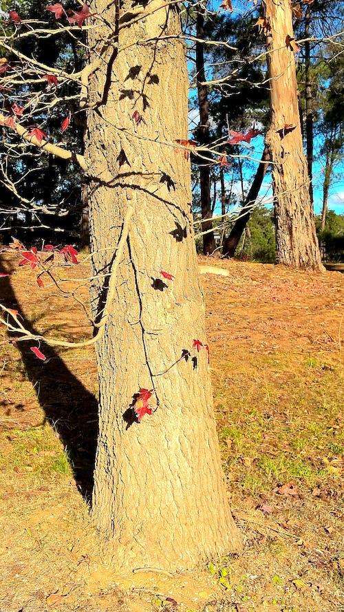 Základová fotografie zdarma na téma kmen, kůra, listy, podzim