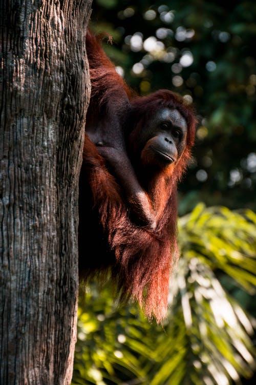 Orangutan Clinging On Tree