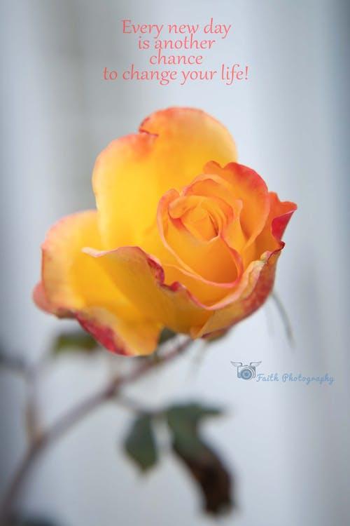 Ảnh lưu trữ miễn phí về hoa hồng cam