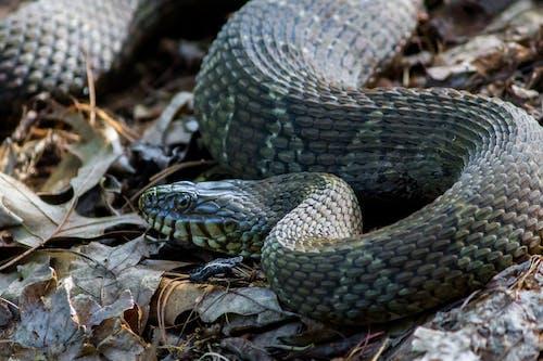 Gratis arkivbilde med copperhead, maryland, slange