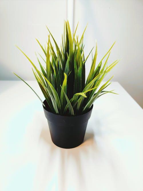 Foto d'estoc gratuïta de cassola, planta, planta d'interior, planta en un test