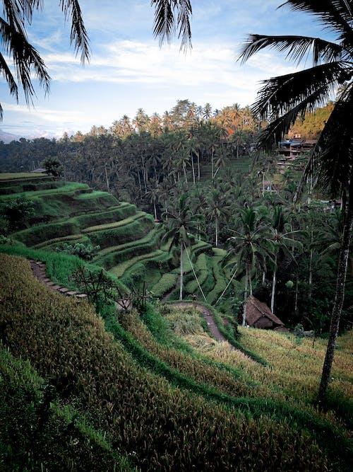 Imagine de stoc gratuită din agricultură, Bali, câmp de orez, câmp nedecorticat