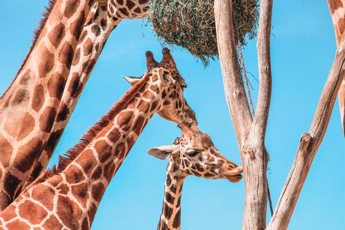 คลังภาพถ่ายฟรี ของ การถ่ายภาพสัตว์, ต้นไม้, ภาพถ่ายมุมต่ำ, ยีราฟ