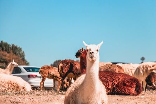 Photo of Alpacas on Ground