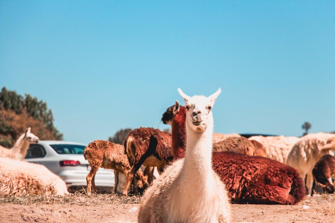 Photo of Alpacas on Ground
