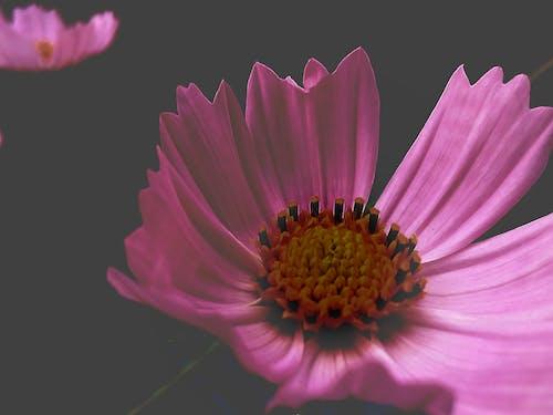 Ingyenes stockfotó Első virágok, fekete háttér, fekete háttérkép, gyönyörű virág témában