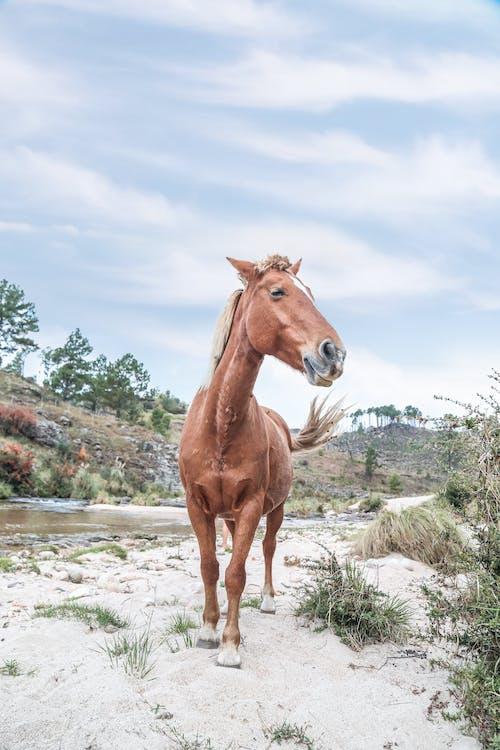 at, aygır, çiftlik hayvanları, hayvan içeren Ücretsiz stok fotoğraf
