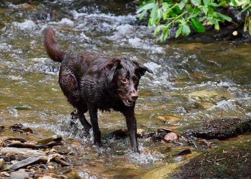 Immagine gratuita di cane, georgia, labrador, ruscello di montagna