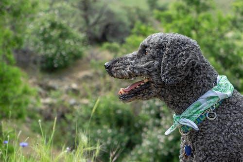 Fotobanka sbezplatnými fotkami na tému pes, pudel, šatka, štandardný pudel