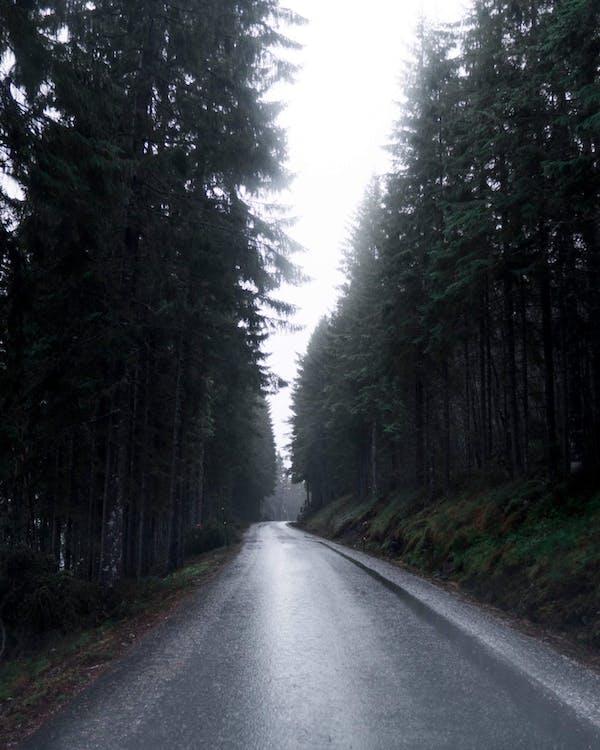 arbori, autostradă, brazi