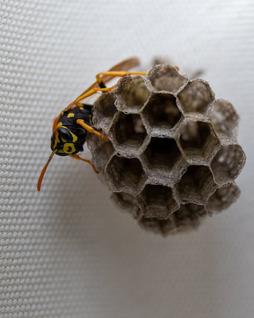 Free stock photo of build, insects, macro, wasp