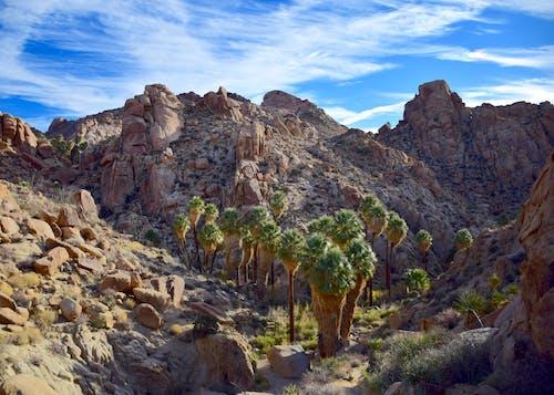 Foto stok gratis kipas tangan california, oase, oasis telapak tangan yang hilang, taman nasional pohon joshua