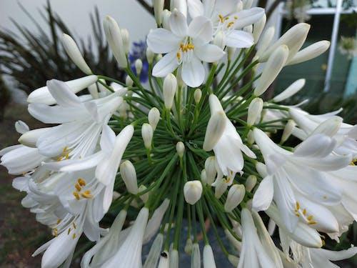 Ilmainen kuvapankkikuva tunnisteilla kasvit, kukat, withe