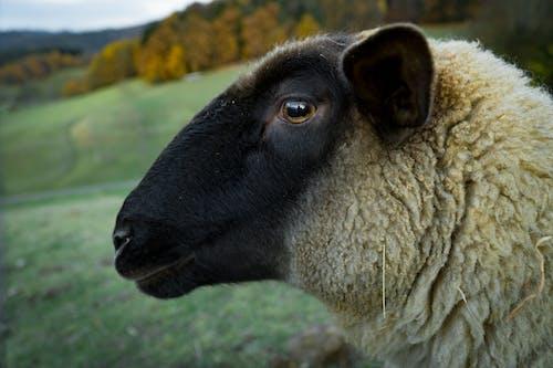 Brown Sheep in Tilt Shift Lens Photography