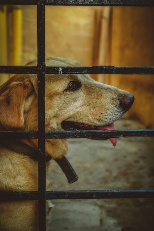Gratis lagerfoto af dyreriget, hunde, labrador retriever, nuttet
