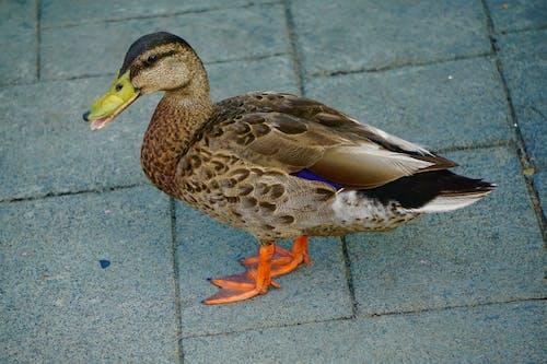 Fotobanka sbezplatnými fotkami na tému kačica