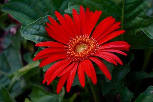 Fotobanka sbezplatnými fotkami na tému červená, kvet
