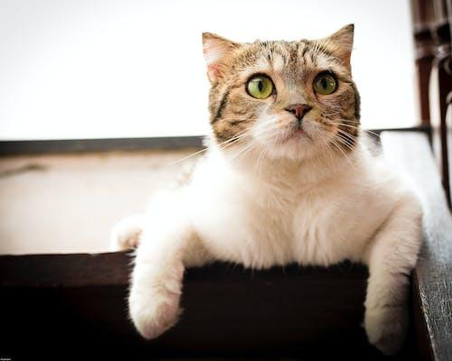 Free stock photo of animal, cat, pet portrait