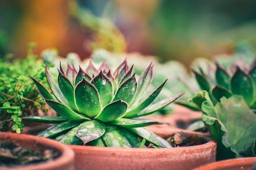 Photos gratuites de agave, flore, mise au point sélective, nature morte