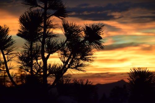Foto stok gratis api di langit, bayangan hitam, matahari terbenam, pohon pinus