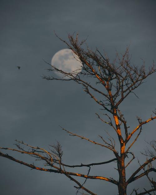 低角度拍攝, 晚間, 月亮, 樹 的 免費圖庫相片