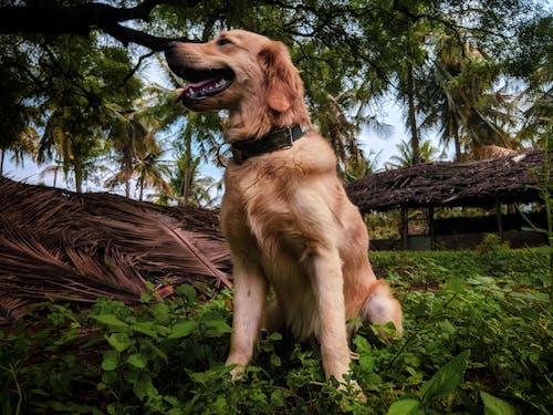 Δωρεάν στοκ φωτογραφιών με 4k ταπετσαρία, golden retriever, βέλγικο βοσκό σκύλο, κατοικίδιο