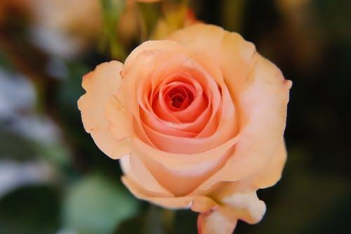 Ảnh lưu trữ miễn phí về hoa hồng vàng cam