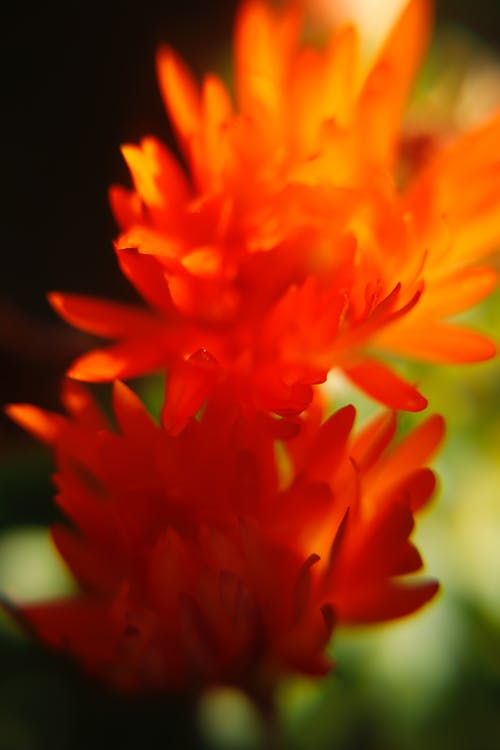 Ảnh lưu trữ miễn phí về Hoa cam