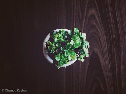 Immagine gratuita di impianto, pianta d'appartamento, Pianta verde, tavolo