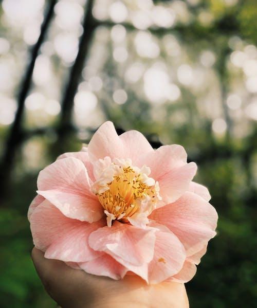 Безкоштовне стокове фото на тему «Вибірковий фокус, делікатний, квітка, квітучий»