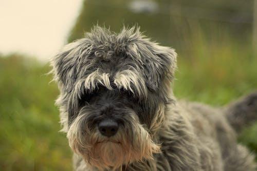 Foto d'estoc gratuïta de gos, gris, schnauzer, verd