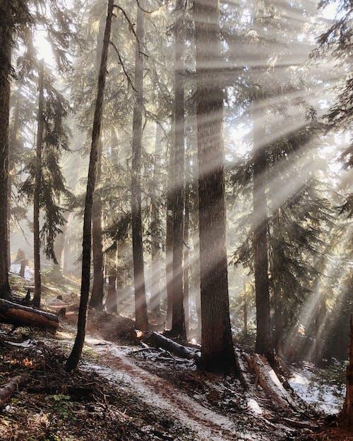 Immagine gratuita di abeti, alberi, ambiente, boschi