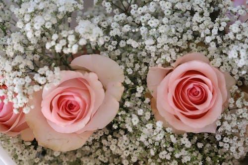 Ảnh lưu trữ miễn phí về Hoa hồng